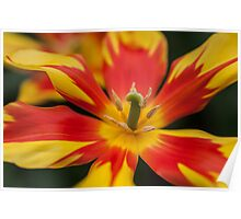 Dappled Tulip 1. The Tulips of Holland Poster