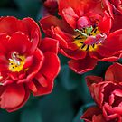 Red Tulips. The Tulips of Holland by JennyRainbow