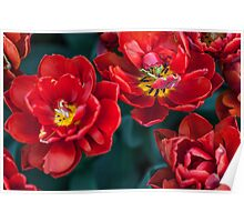 Red Tulips. The Tulips of Holland Poster