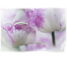 Dappled Tulips. The Tulips of Holland Poster