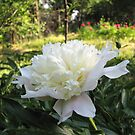 Our First White Peony of 2013 by Dennis Melling
