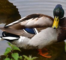 Mallard Duck At Mangerton Mill, Dorset UK by lynn carter