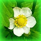 Wild strawberry flower by ©The Creative  Minds
