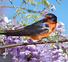 The Barn Swallow by Kathy Baccari