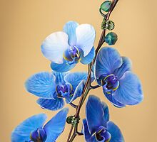 Mother's Day Orchid by Robert Kelch, M.D.