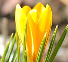 Yellow crocus (iPhone) by João Figueiredo