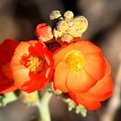 Globe Mallow by Arla M. Ruggles
