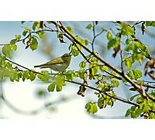 Wood Warbler Photographic Print