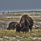 Buffalo in the Snow by NinthPlanet