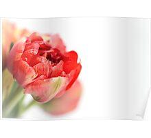 Peony Tulip... Poster