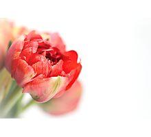 Peony Tulip... Photographic Print