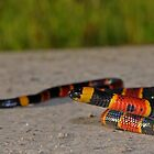Eastern Coral Snake by Michael L Dye