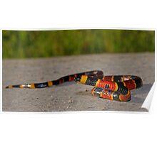 Eastern Coral Snake Poster