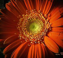 Outrageous Orange by Susan Bergstrom