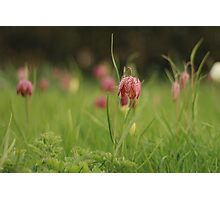 Waving Snake's head fritillaries at Downton Abbey Photographic Print