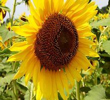 Big Old Sunflower by WildestArt