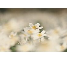 A sea of white, a wood anemone at Downton Abbey Photographic Print