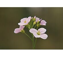 A Cuckoo flower in bloom at Downton Abbey Photographic Print