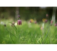 Standing alone, snakes head fritillary at Downton Abbey Photographic Print