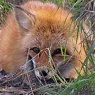 Young Red Fox by caybeach
