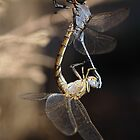 Dragonflies Courtship by Mick Gosling
