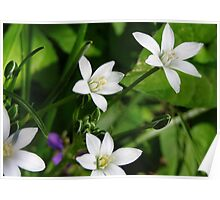 Wild Wood Anemone Poster