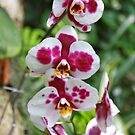 Beautiful Orchids by Nancy Badillo