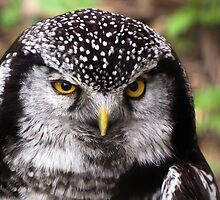 Northern Hawk Owl by caybeach