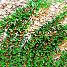 Cotoneaster On Pebble Dash by Fara