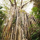 Curtain Fig Tree - Far North Queensland by RichardCurzon