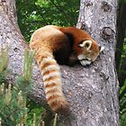 Red Panda by caybeach
