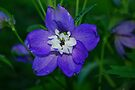 Purple Delphinium by Tori Snow