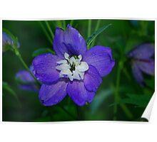 Purple Delphinium Poster
