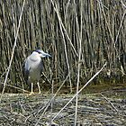 Black Crowned Night Heron by MaryinMaine
