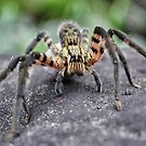 Lycosidae (Wolf Spider) by Elias Martinez