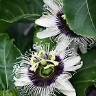 Passion Flower by Joy Rensch