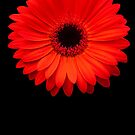 Red Gerbera by Steve Bass