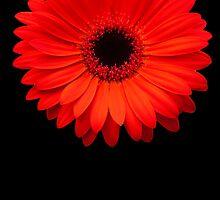 Red Gerbera by Steve Bass
