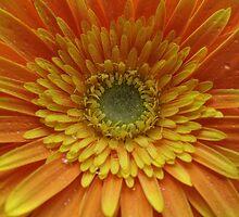 Gerbera Daisy by CreatorsBeauty