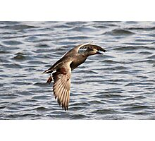 Gadwall Photographic Print