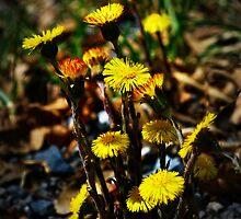 dandelions in spring by Jenyvive