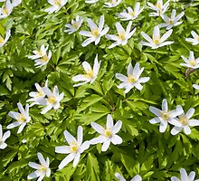 Wood Anemone by Vac1
