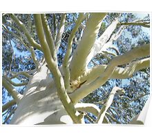 White Eucalyptus tree Poster