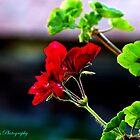 Red Flower by mariusvic