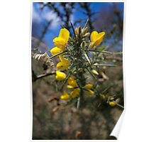 Gorse on Dartmoor Poster
