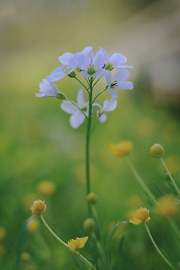 A Cuckoo flower emerges at Downton Abbey by miradorpictures