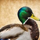 Male Mallard by Susie Peek
