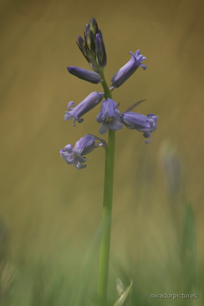 Breaking through, a bluebell at Downton Abbey by miradorpictures