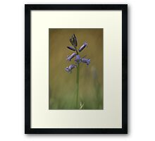 Breaking through, a bluebell at Downton Abbey Framed Print