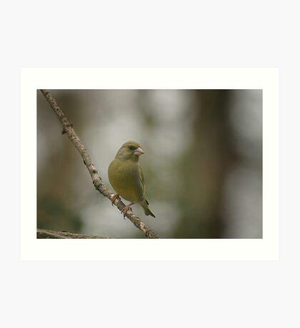 A perching green finch at Downton Abbey Art Print